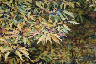Fagys sylvatica heterophylla