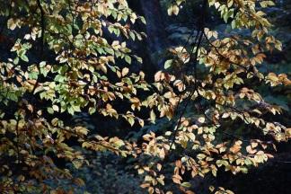 Fagys sylvatica quercifolia