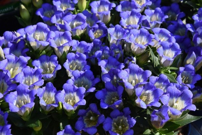 Gentian scabra Blue Mountain