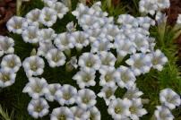 G terniflora Cangshan