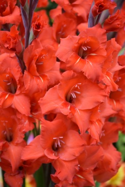 Gladiolus Magma