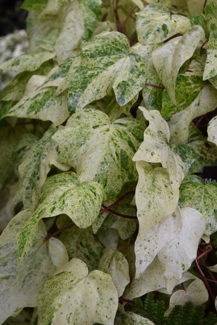 H algeriensis Margino Maculata