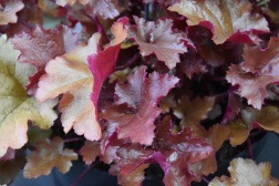Heuchera Autumn Glow