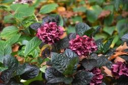 Hydrangea macrophylla Merveille Sanguine