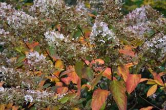 Hydrangea paniculata Grandiflora