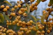 Malus Golden Hornet