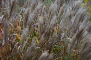 Miscanthus Red Fox