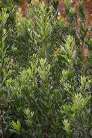 Myrica californica