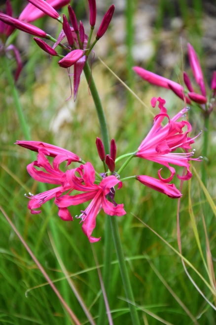 Nerine Mr John