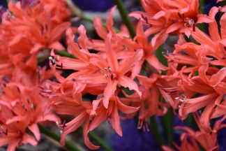 Nerine sarniensis Mandarin