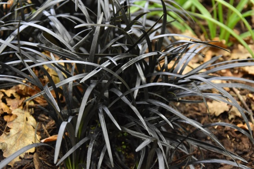 Ophiopogon nigrescens