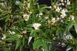 Osmanthus heterophyllus Sasaba