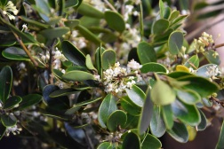 Osmanthus purpureus