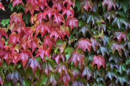 Pathenocissus tricuspidata Veitchii