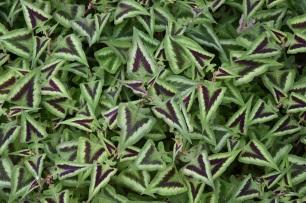 Persicara microcephala Purple Fantasy