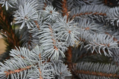 Picea pungers Koster