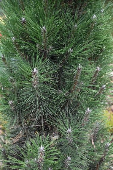 Pinus nigra Komet