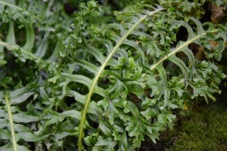 Polypodium cambricum grandiceps fox