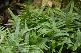 Polypodium cambricum marcostachyons