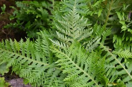 Polypodium cambricum pulcherrimum addison
