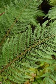 Polystichum setiferum plumosum bevis