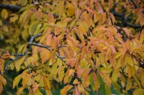 Prunus Pandora