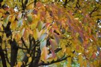 Prunus verecunda