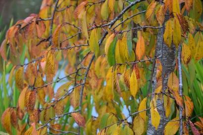 Prunus x yedoense Shidara Yoshino