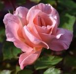 Rosa Blessings