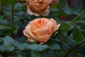 Rosa Carolyn Knight