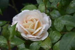 Rosa Champagne Moment