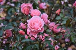 Rosa Fascination