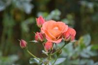Rosa Old John