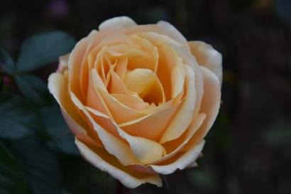 Rosa Sue Hipkin/Lady Jane Grey