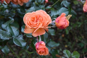 Rosa Tatton