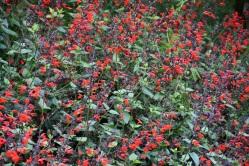 Salvia coccinea Forest Fire