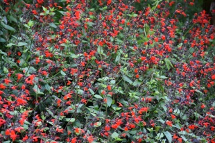 Salvia coccinea Forest Fire