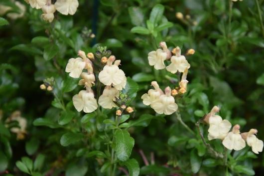 Salvia Melen