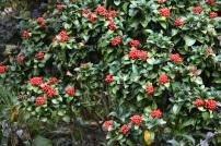 Skimmia japonica pumila