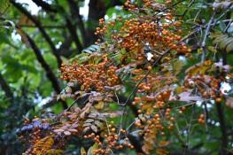 Sorbus Wisley Gold