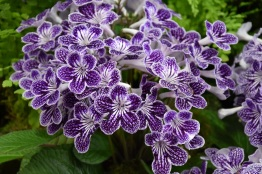 Streptocarpus Polka Dot Surprise