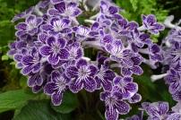 Polka-dot Purple