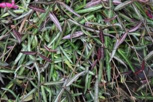 Trachelospermum jasminoides Waterwheel
