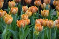 Tulip Orange Princes