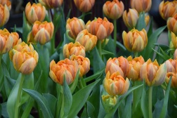 Tulip Orange Princes