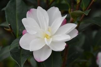 Camellia Paraside Blush