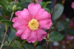 Camellia Paradise Glow