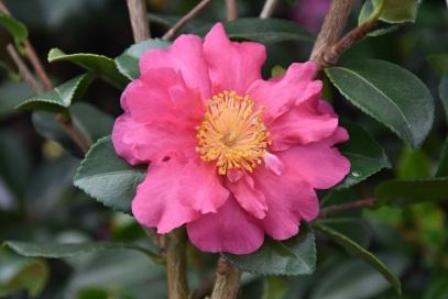 Camellia Sekiyo
