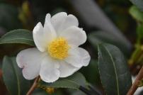 Camellia Survivor