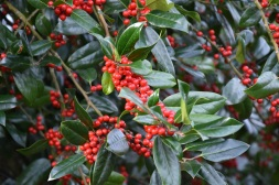 Ilex altaclarensis James G Essen